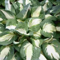 Hosta 'Vulcan' Photo courtesy of Walters Gardens