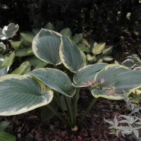 photo of Hosta 'Waukon Glass' courtesy of Naylor Creek Nursery