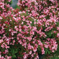 Weigela 'Czechmark Twopink' photo courtesy of Proven Winners