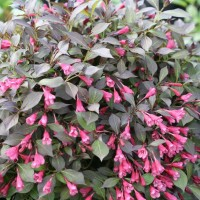 Weigela Midnight Wine Shine