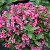 photo of Weigela 'Snippet Dark Pink' courtesy of Proven Winners