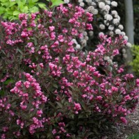 Weigela 'Wine and Roses' Photo courtesy of Proven Winners