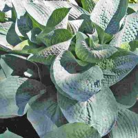 Hosta 'Wishing Well' Photo courtesy of Don Dean