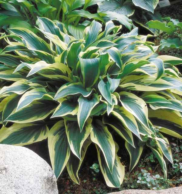 Hosta 'Wolverine' Photo courtesy of Walters Gardens
