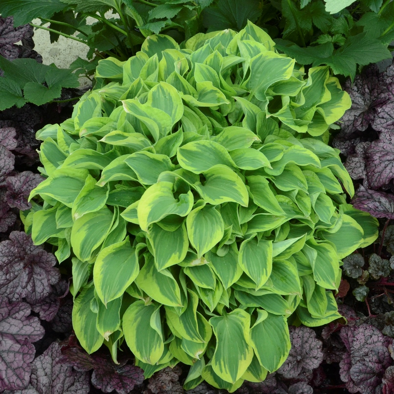 photo of Hosta 'Wrinkle in Time' courtesy of Walters Gardens