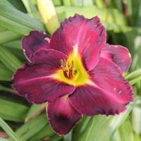 Daylily 'Xon Valdez' photo Suzanne Patry at Whitehouse Perennnials