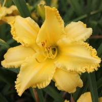 Daylily 'Yellow Dynamo' photo courtesy of Walters Gardens