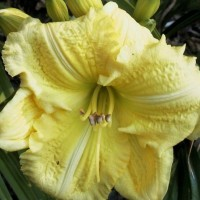 Daylily 'Yellow Explosion'