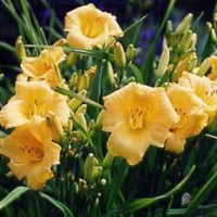 Daylily 'Yellow Lollipop