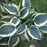 Hosta 'Yin' photo courtesy of Naylor Creek Nursery