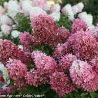 Hydrangea 'Zinfin Doll' photo courtesy of Proven Winners